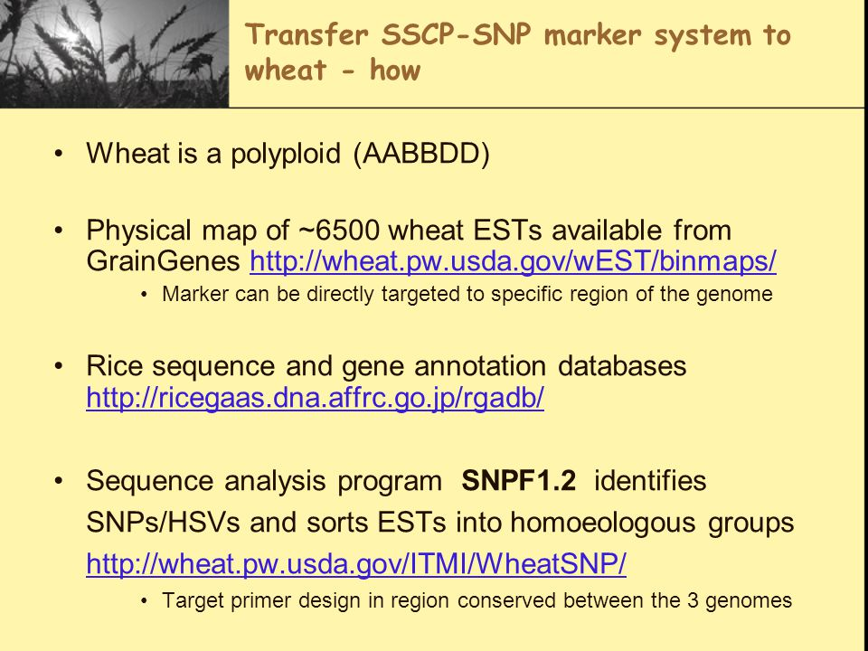 Transfer SSCP-SNP marker system to wheat - how Wheat is a polyploid (AABBDD) Physical map of ~6500 wheat ESTs available from GrainGenes http://wheat.pw.usda.gov/wEST/binmaps/http://wheat.pw.usda.gov/wEST/binmaps/ Marker can be directly targeted to specific region of the genome Rice sequence and gene annotation databases http://ricegaas.dna.affrc.go.jp/rgadb/ http://ricegaas.dna.affrc.go.jp/rgadb/ Sequence analysis program SNPF1.2 identifies SNPs/HSVs and sorts ESTs into homoeologous groups http://wheat.pw.usda.gov/ITMI/WheatSNP/ http://wheat.pw.usda.gov/ITMI/WheatSNP/ Target primer design in region conserved between the 3 genomes