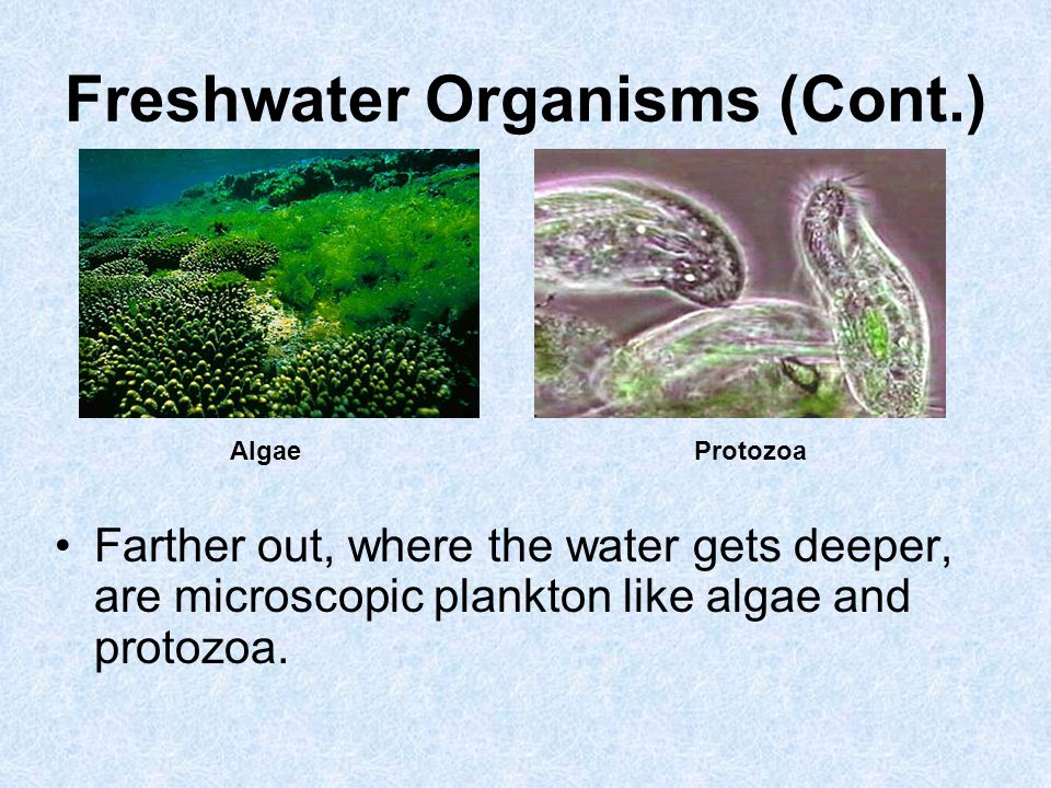 Freshwater Organisms (Cont.) Farther out, where the water gets deeper, are microscopic plankton like algae and protozoa. AlgaeProtozoa