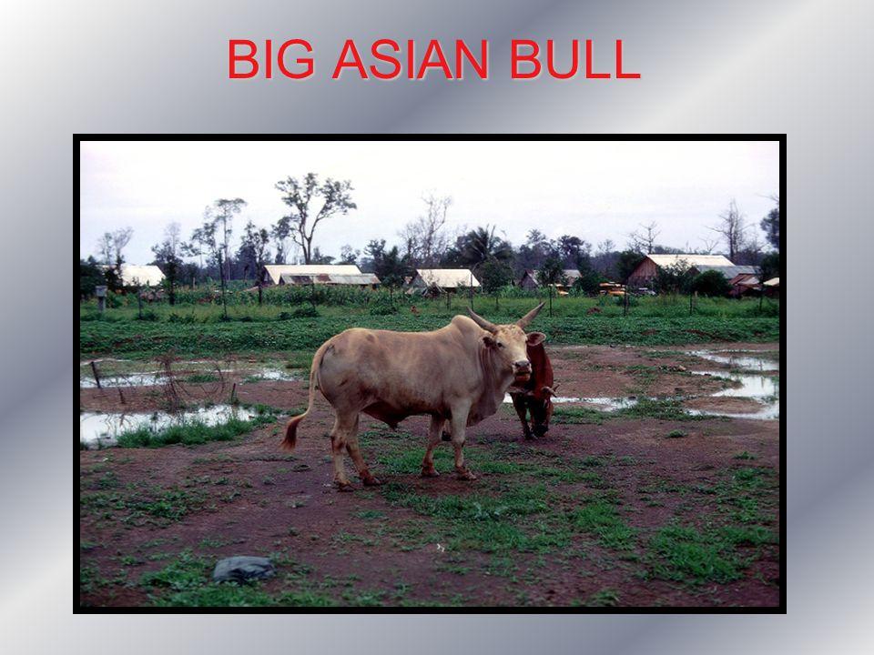 BIG ASIAN BULL