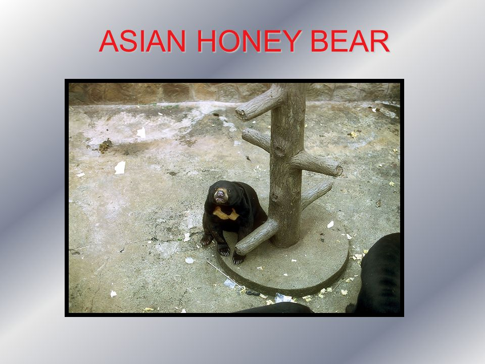 ASIAN HONEY BEAR