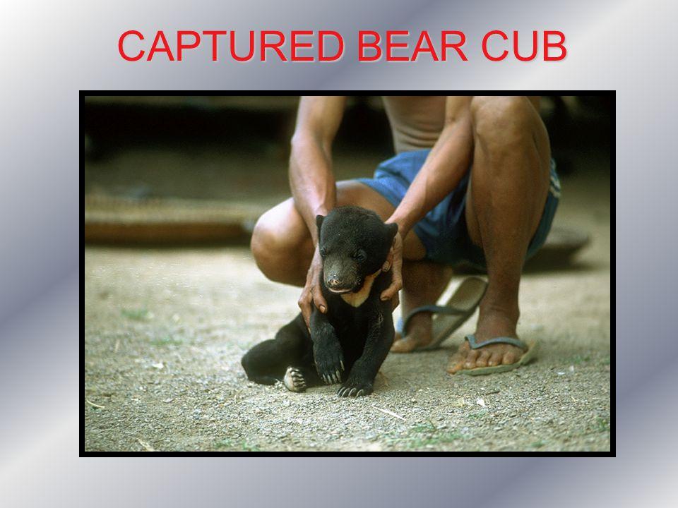 CAPTURED BEAR CUB