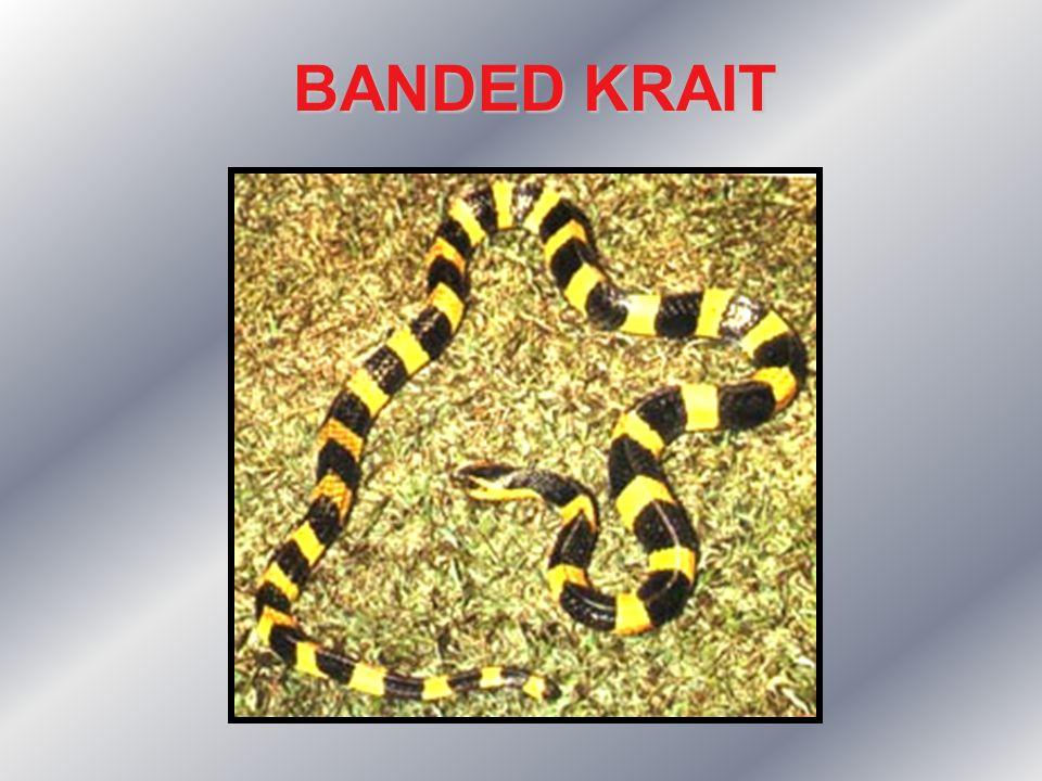 BANDED KRAIT