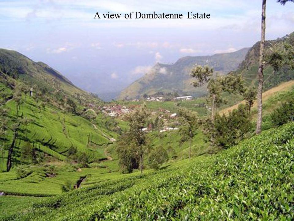 A view of Dambatenne Estate