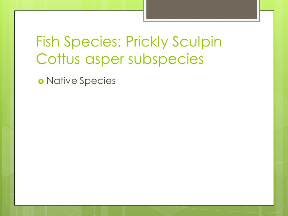 Fish Species: Prickly Sculpin Cottus asper subspecies  Native Species