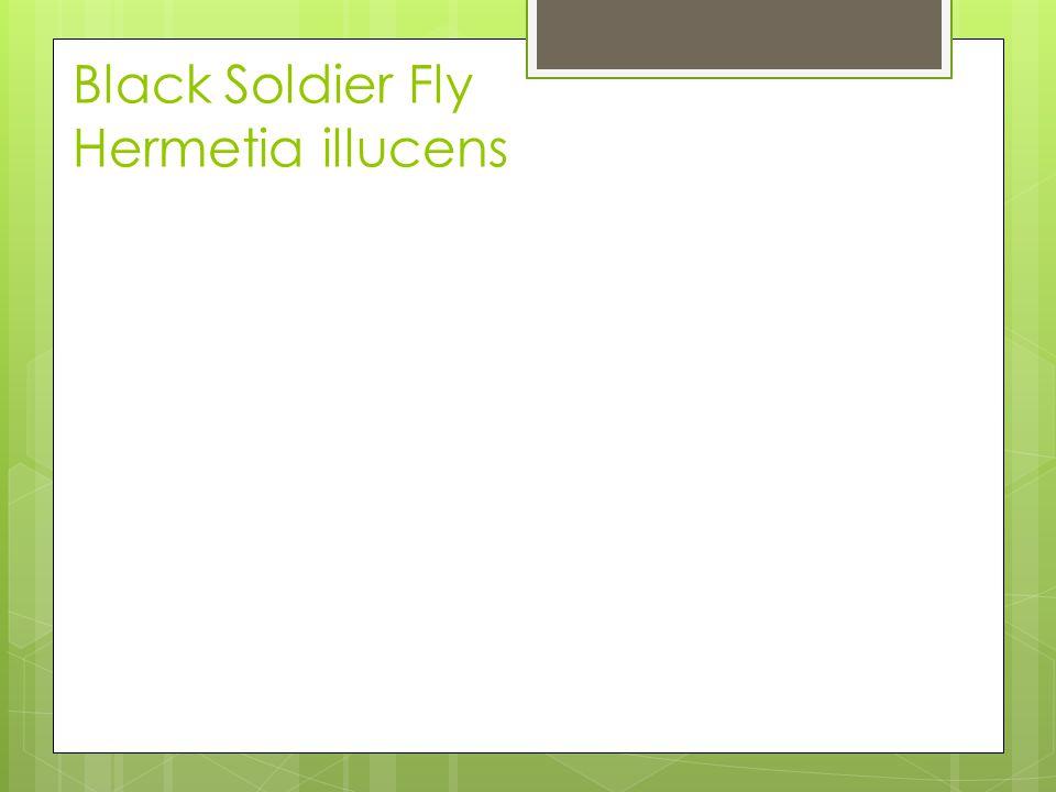 Black Soldier Fly Hermetia illucens
