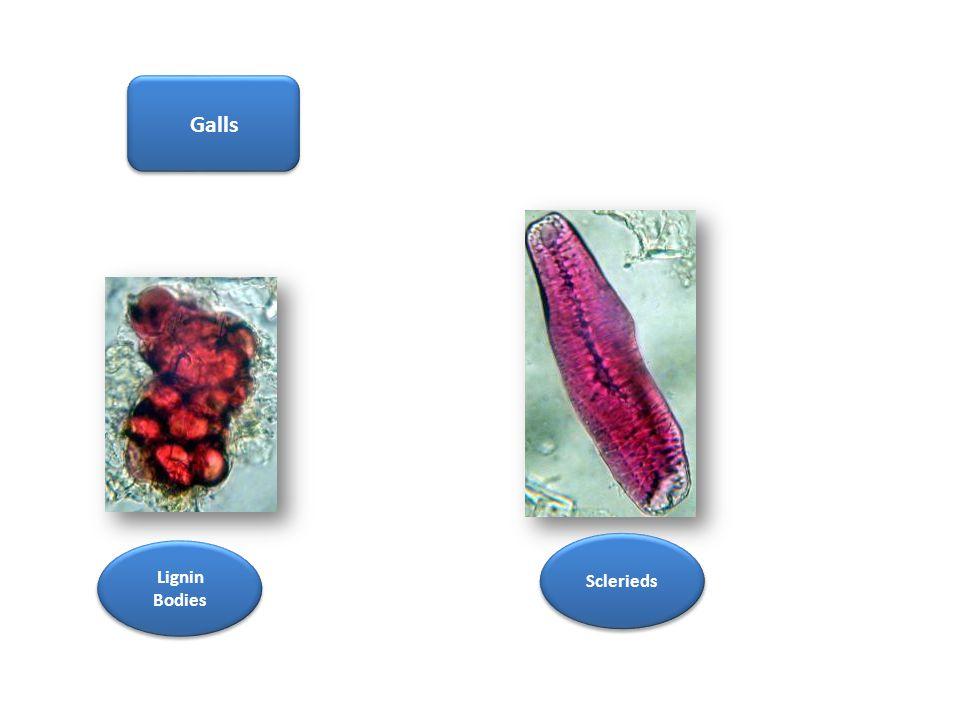 Galls Lignin Bodies Sclerieds