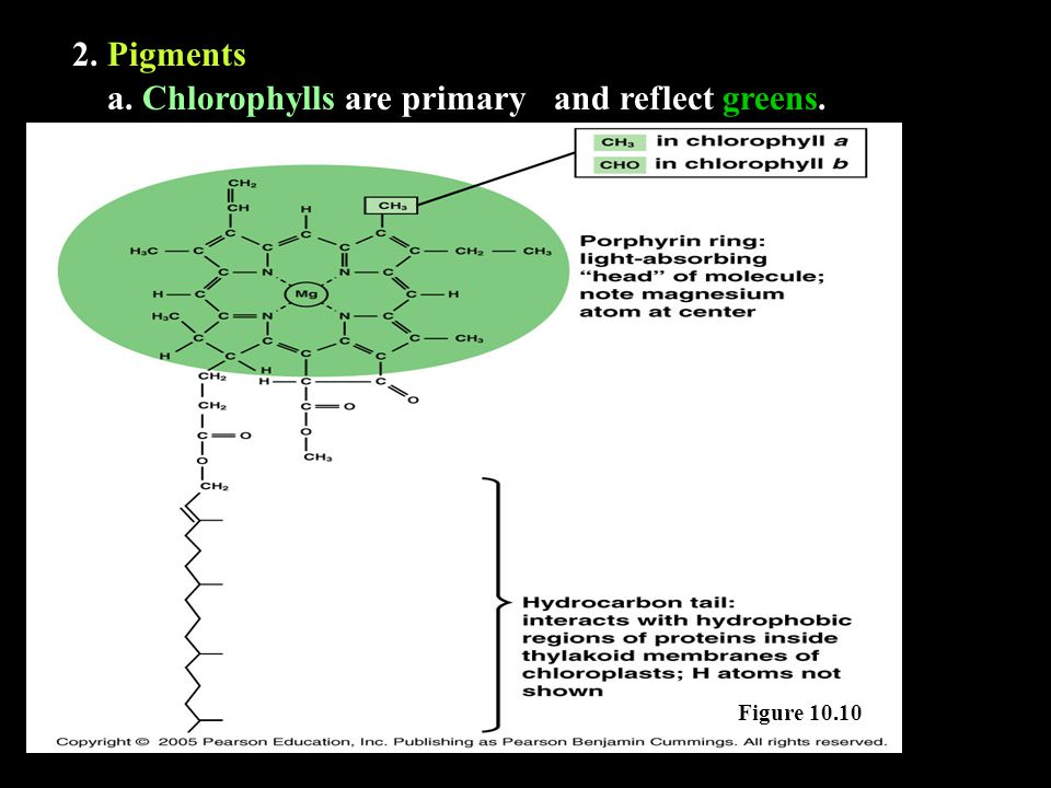 2. Pigments Figure 10.10 a. Chlorophylls are primaryand reflect greens.