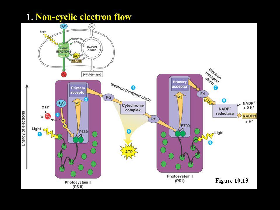 1. Non-cyclic electron flow Figure 10.13
