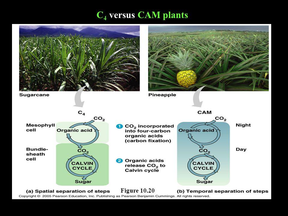 C4 C4 versus CAM plants Figure 10.20