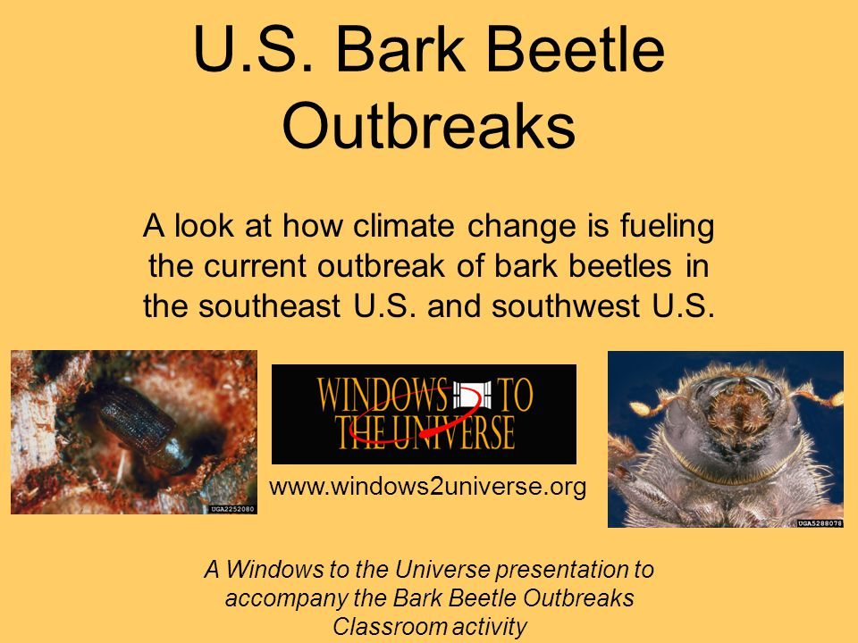U.S. Bark Beetle Outbreaks A look at how climate change is fueling the current outbreak of bark beetles in the southeast U.S. and southwest U.S. A Win