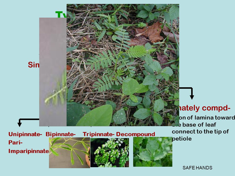 SAFE HANDS Types of Leaves (Depends of incision of lamina) SimpleCompound Pinnately compd- Incision toward midrib Palmately compd- Incision of lamina