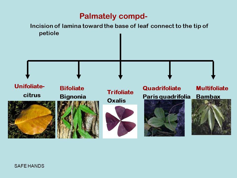 SAFE HANDS Palmately compd- Incision of lamina toward the base of leaf connect to the tip of petiole Unifoliate- citrus Bifoliate Bignonia Trifoliate