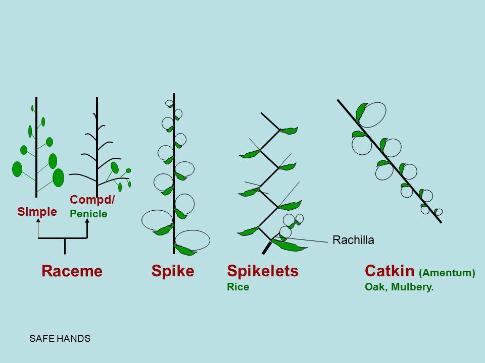 SAFE HANDS Raceme Simple Compd/ Penicle SpikeSpikelets Rice Rachilla Catkin (Amentum) Oak, Mulbery.