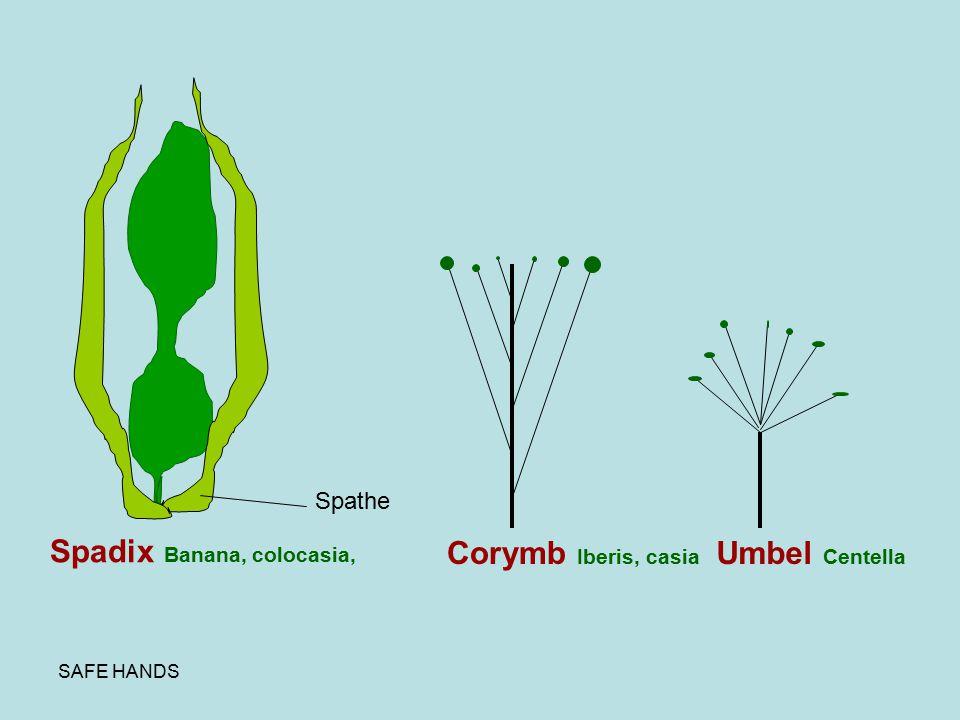 SAFE HANDS Spadix Banana, colocasia, Spathe Corymb Iberis, casia Umbel Centella