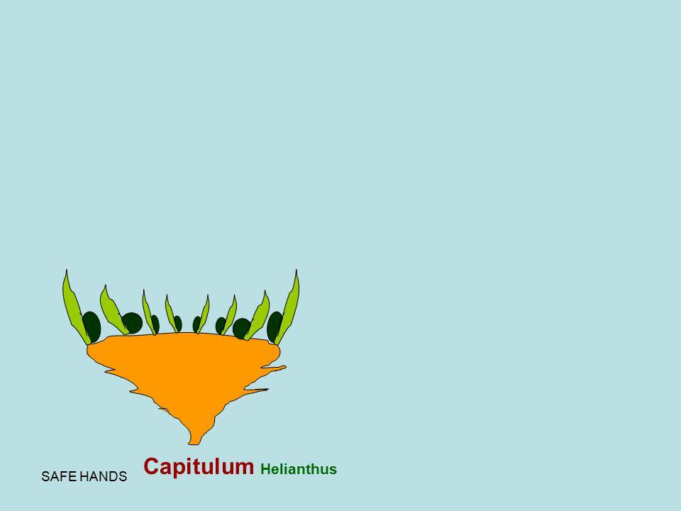 SAFE HANDS Capitulum Helianthus
