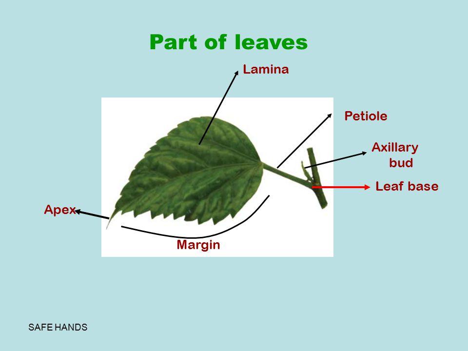 SAFE HANDS Part of leaves Leaf base Lamina Petiole Margin Apex Axillary bud