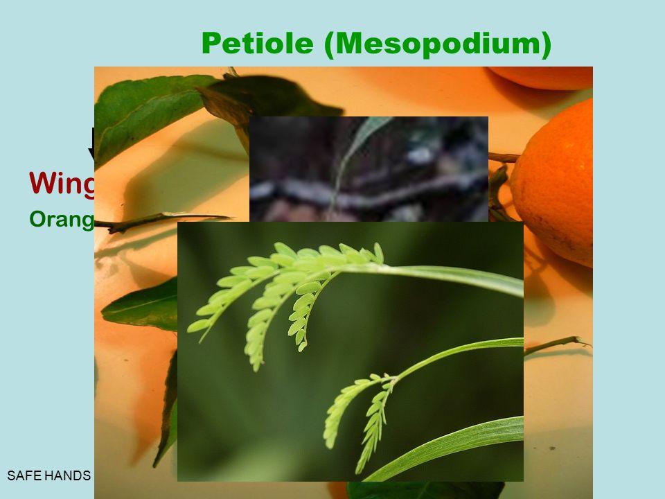 SAFE HANDS Petiole (Mesopodium) Winged Orange Tendrilla r Nepenthes Phyllode Acacia Floating Echornia