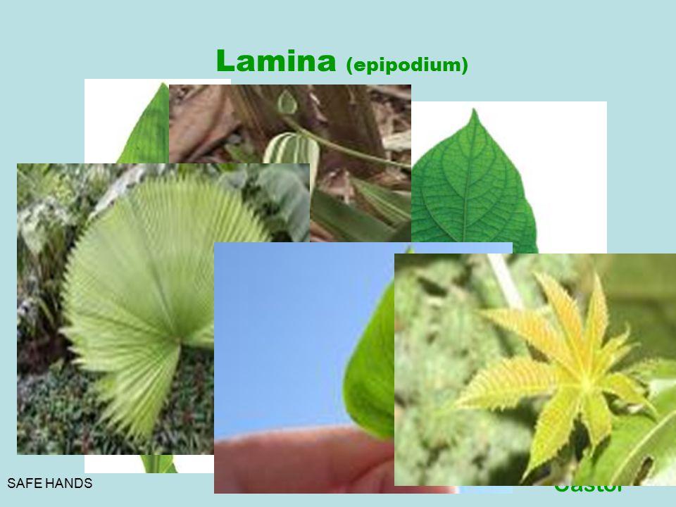 SAFE HANDS Lamina (epipodium) Parallel Monocot Reticular Dicot Venation Convergent Wheat Divergent Palms Unicostate/Pinnat e Peepal Multicostat e\Palm