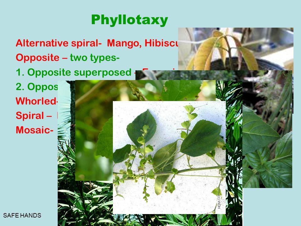 SAFE HANDS Phyllotaxy Alternative spiral- Mango, Hibiscus. Opposite – two types- 1. Opposite superposed – Eugenia. 2. Opposite decussate.- Calotropis.