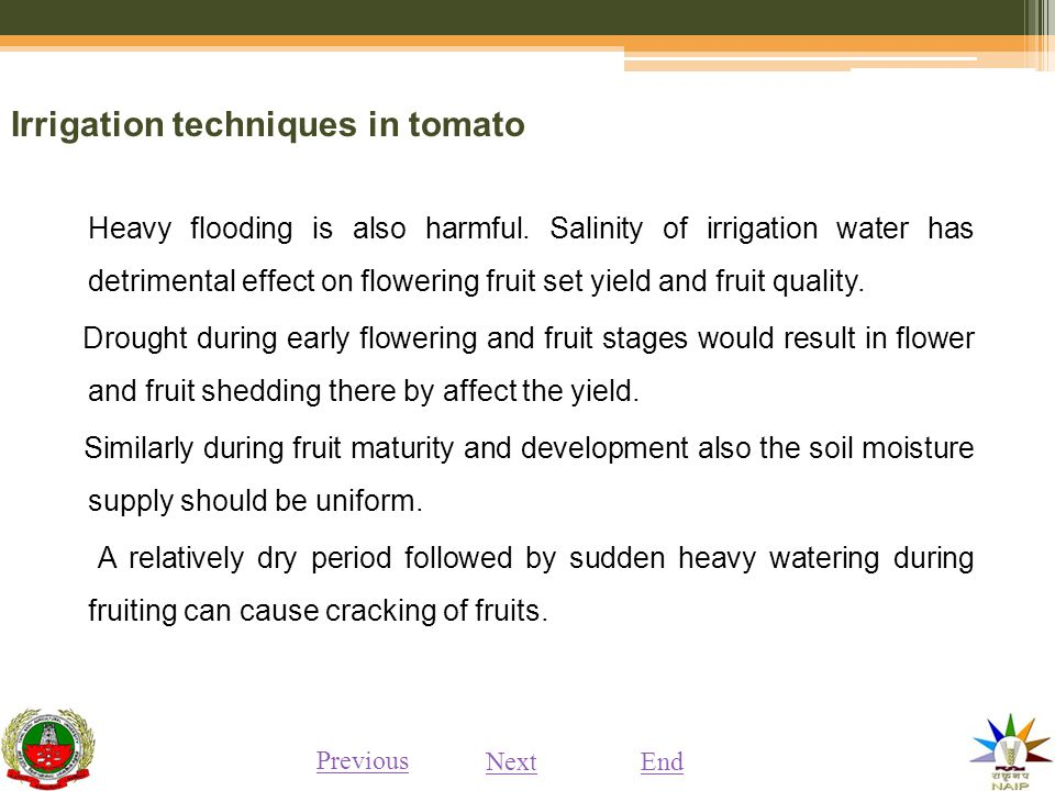 Irrigation techniques in tomato Heavy flooding is also harmful.