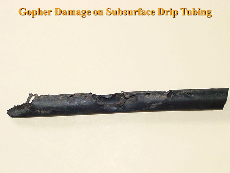 Gopher Damage on Subsurface Drip Tubing