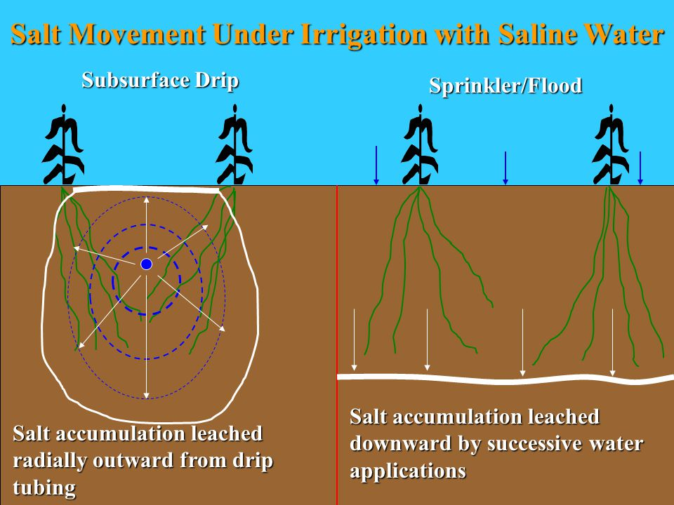 Salt Movement Under Irrigation with Saline Water Salt accumulation leached downward by successive water applications Salt accumulation leached radially outward from drip tubing Subsurface Drip Sprinkler/Flood