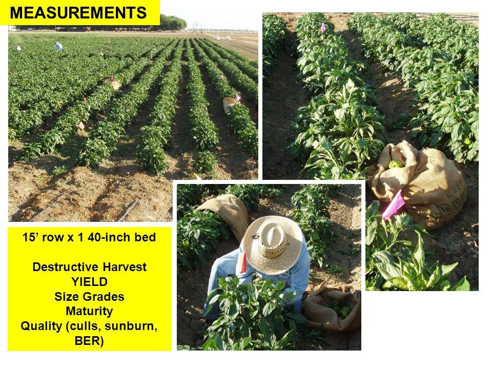 MEASUREMENTS 15' row x 1 40-inch bed Destructive Harvest YIELD Size Grades Maturity Quality (culls, sunburn, BER)