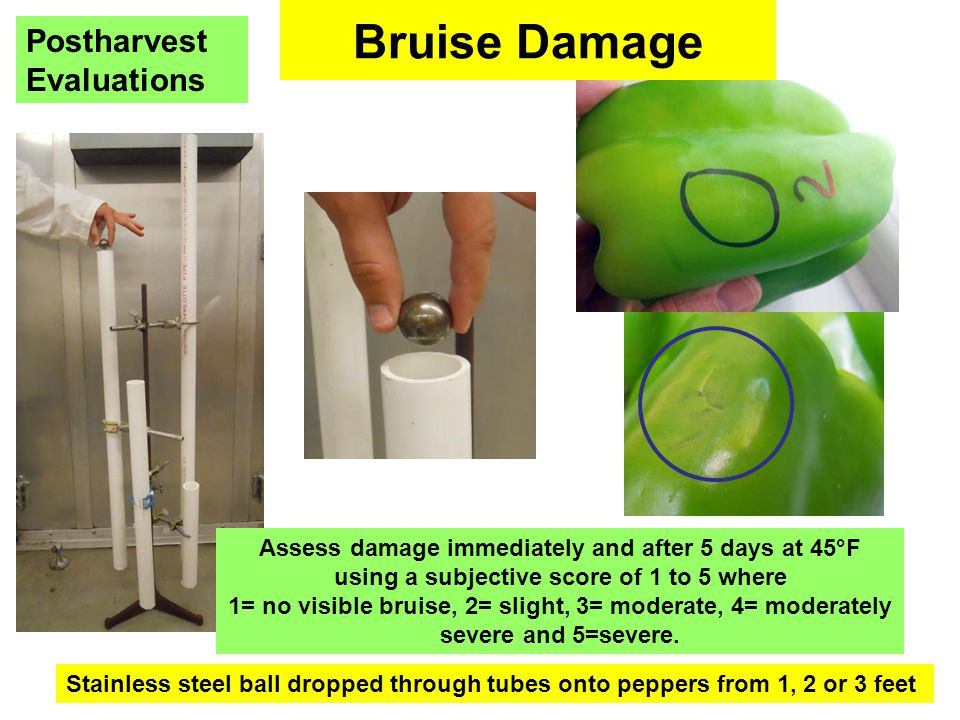 Bruise Damage Stainless steel ball dropped through tubes onto peppers from 1, 2 or 3 feet Assess damage immediately and after 5 days at 45°F using a subjective score of 1 to 5 where 1= no visible bruise, 2= slight, 3= moderate, 4= moderately severe and 5=severe.