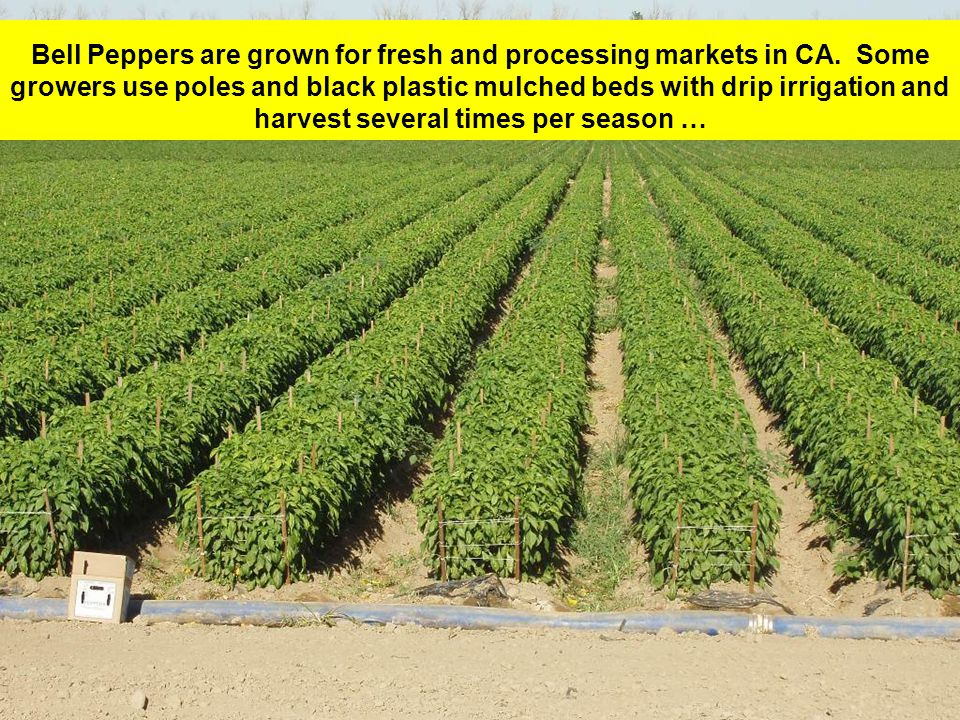 Bell Peppers are grown for fresh and processing markets in CA.