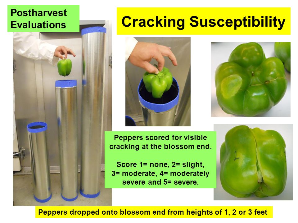 Cracking Susceptibility Peppers dropped onto blossom end from heights of 1, 2 or 3 feet Peppers scored for visible cracking at the blossom end. Score