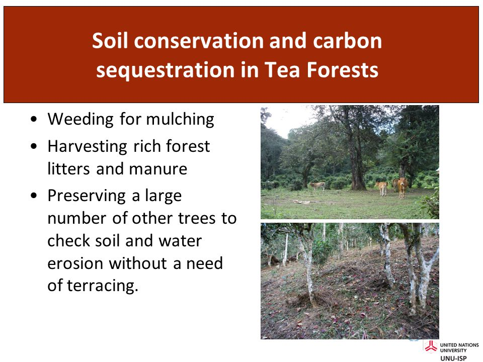 Soil conservation and carbon sequestration in Tea Forests Weeding for mulching Harvesting rich forest litters and manure Preserving a large number of other trees to check soil and water erosion without a need of terracing.
