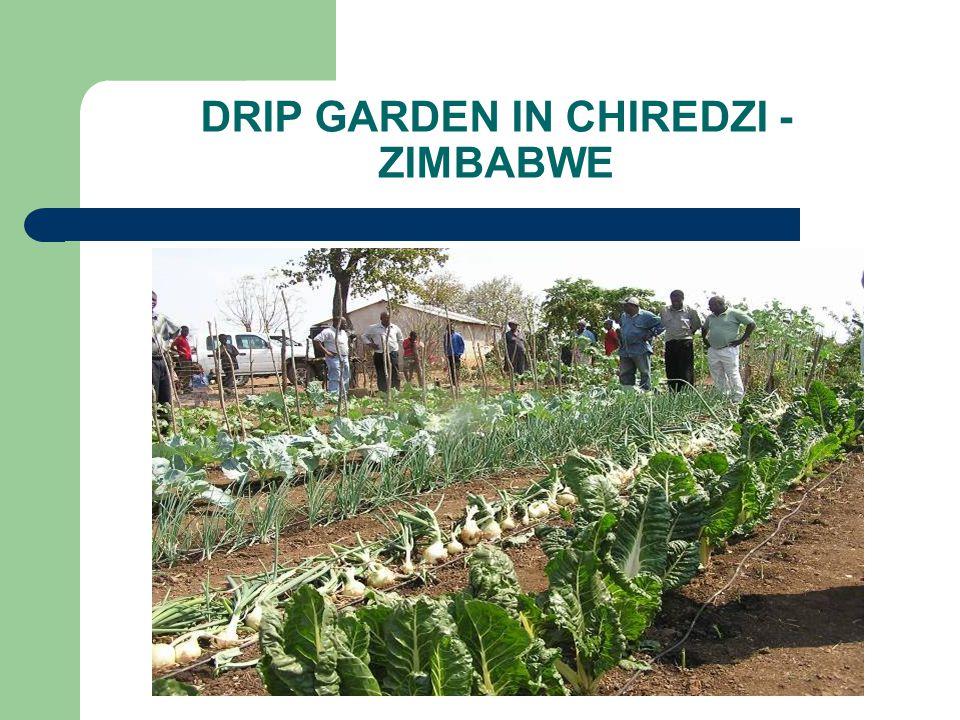 DRIP GARDEN IN CHIREDZI - ZIMBABWE