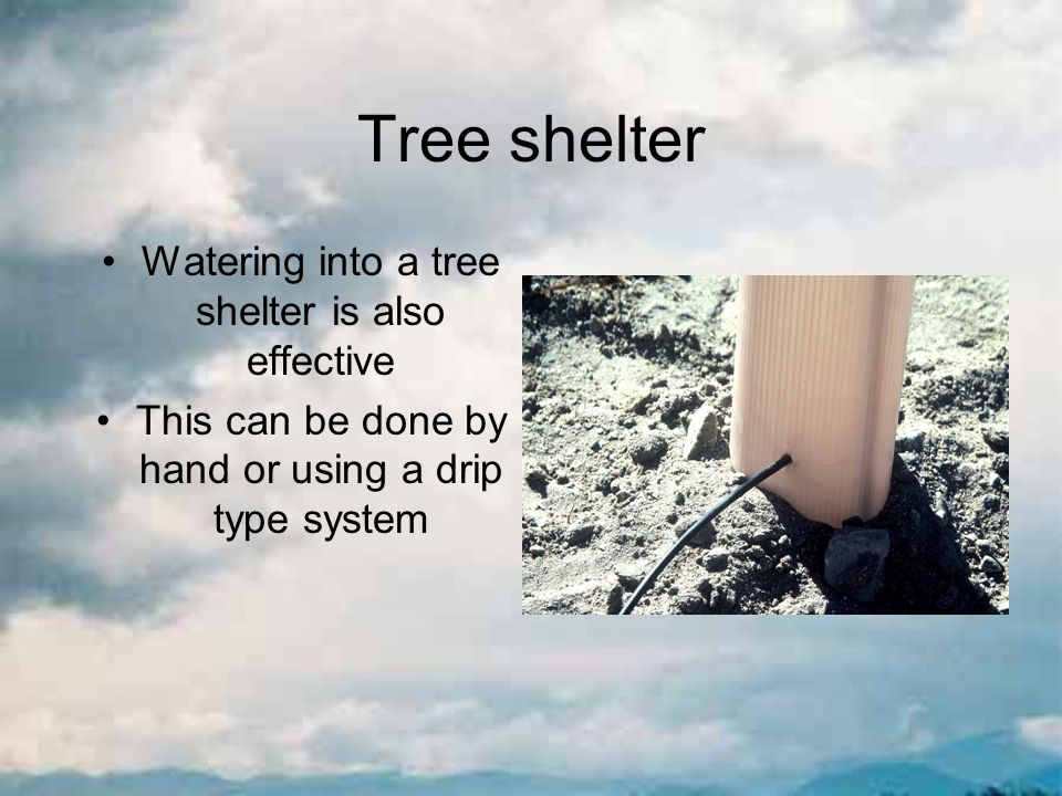 Tree shelter Watering into a tree shelter is also effective This can be done by hand or using a drip type system