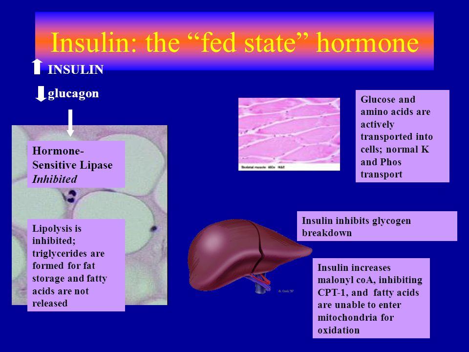 "Insulin: the ""fed state"" hormone Insulin inhibits glycogen breakdown Hormone- Sensitive Lipase Inhibited INSULIN glucagon Lipolysis is inhibited; trig"