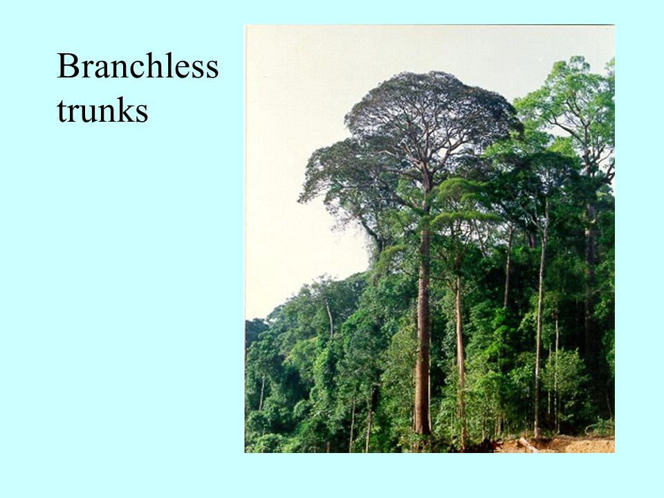 Branchless trunks