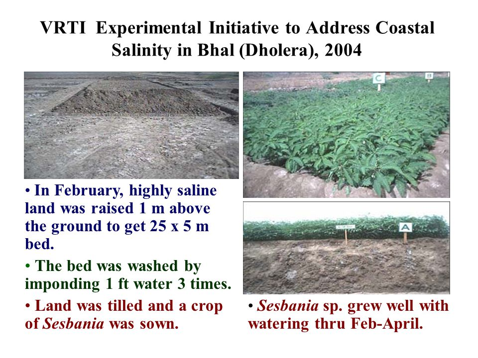 VRTI Experimental Initiative to Address Coastal Salinity in Bhal (Dholera), 2004 In February, highly saline land was raised 1 m above the ground to get 25 x 5 m bed.