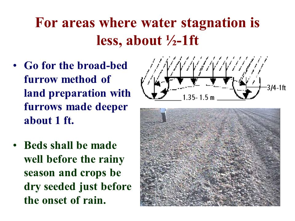 For areas where water stagnation is less, about ½-1ft Go for the broad-bed furrow method of land preparation with furrows made deeper about 1 ft.