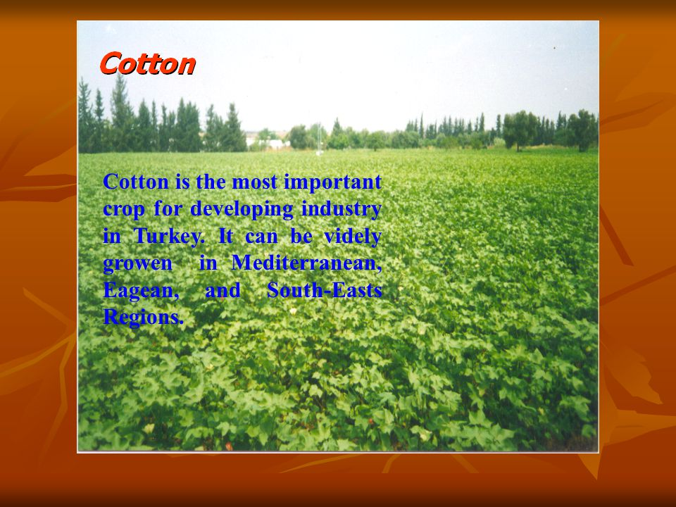 Cotton is the most important crop for developing industry in Turkey.