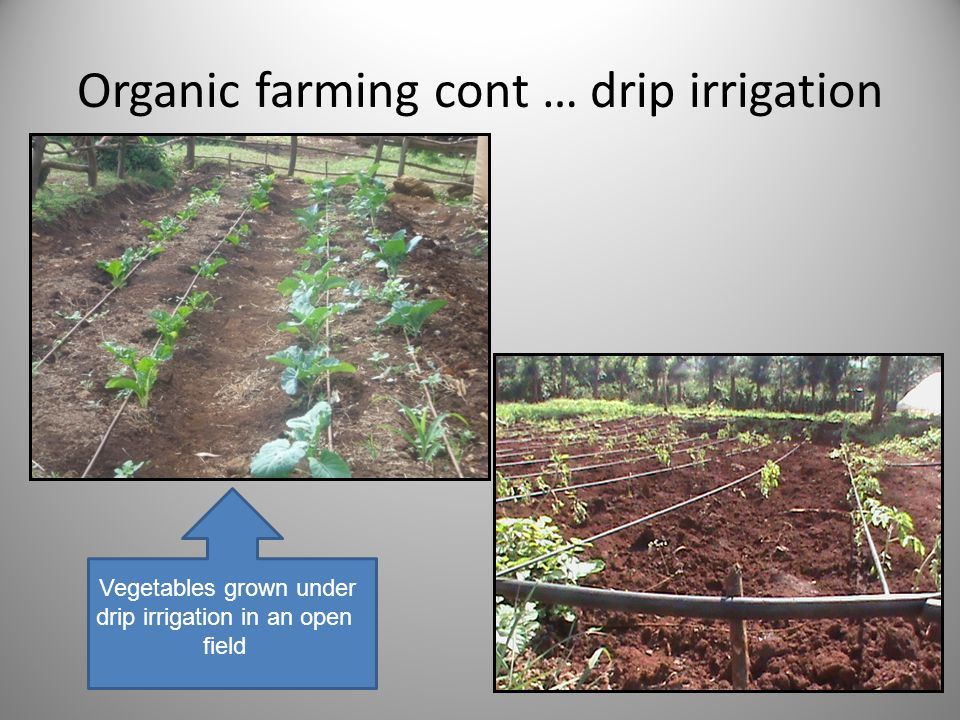 Organic farming cont … drip irrigation Vegetables grown under drip irrigation in an open field