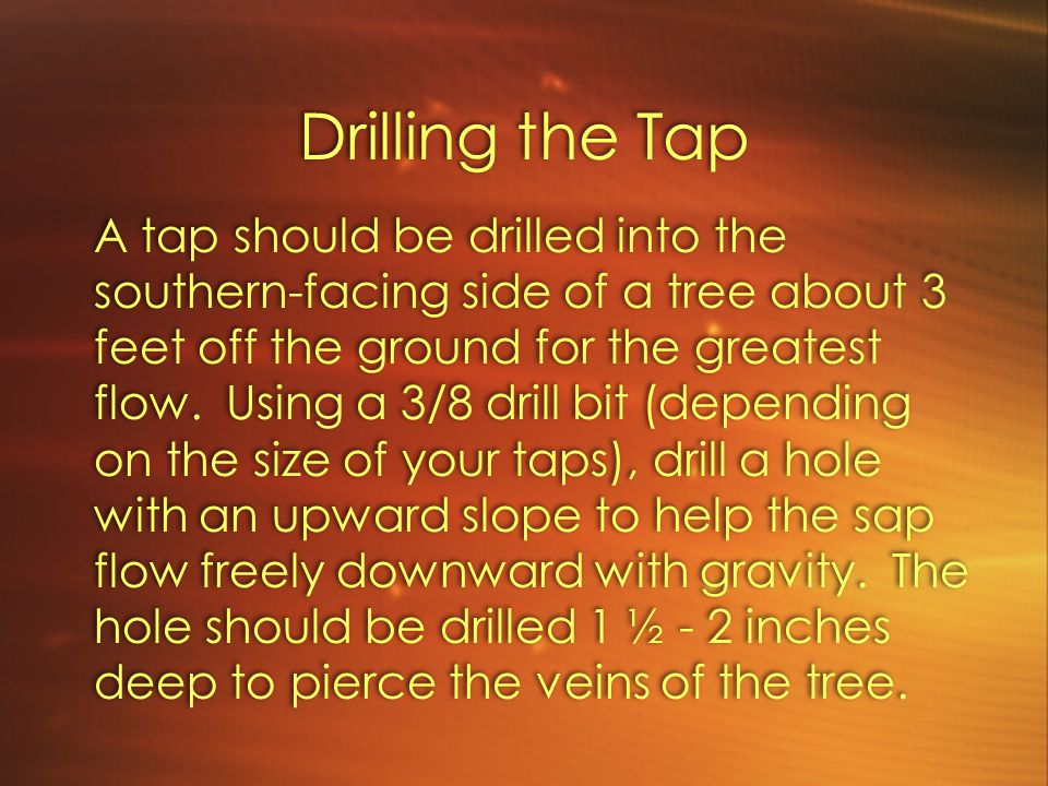 Drilling the Tap A tap should be drilled into the southern-facing side of a tree about 3 feet off the ground for the greatest flow.