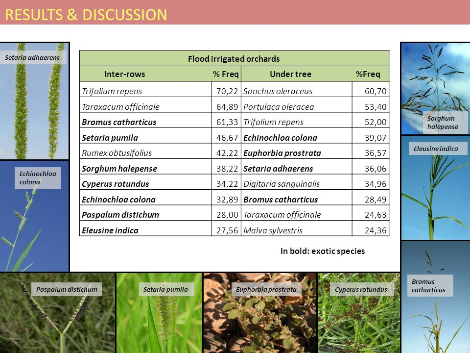 Flood irrigated orchards Inter-rows % Freq Under tree %Freq Trifolium repens70,22Sonchus oleraceus60,70 Taraxacum officinale64,89Portulaca oleracea53,40 Bromus catharticus61,33Trifolium repens52,00 Setaria pumila46,67Echinochloa colona39,07 Rumex obtusifolius42,22Euphorbia prostrata36,57 Sorghum halepense38,22Setaria adhaerens36,06 Cyperus rotundus34,22Digitaria sanguinalis34,96 Echinochloa colona32,89Bromus catharticus28,49 Paspalum distichum28,00Taraxacum officinale24,63 Eleusine indica27,56Malva sylvestris24,36 In bold: exotic species Bromus catharticus Setaria pumila Sorghum halepense Eleusine indica Cyperus rotundusPaspalum distichumEuphorbia prostrata Setaria adhaerens Echinochloa colona RESULTS & DISCUSSION