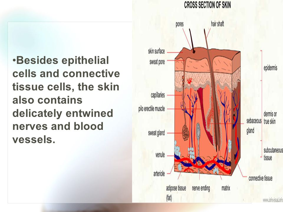 Besides epithelial cells and connective tissue cells, the skin also contains delicately entwined nerves and blood vessels.