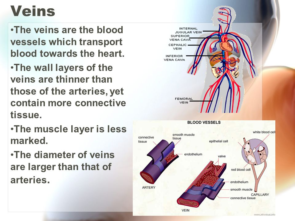Veins The veins are the blood vessels which transport blood towards the heart. The wall layers of the veins are thinner than those of the arteries, ye