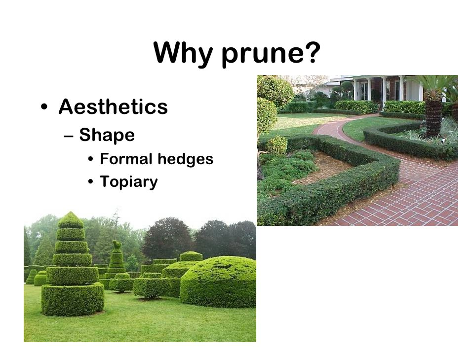 Why prune? Aesthetics –Shape Formal hedges Topiary