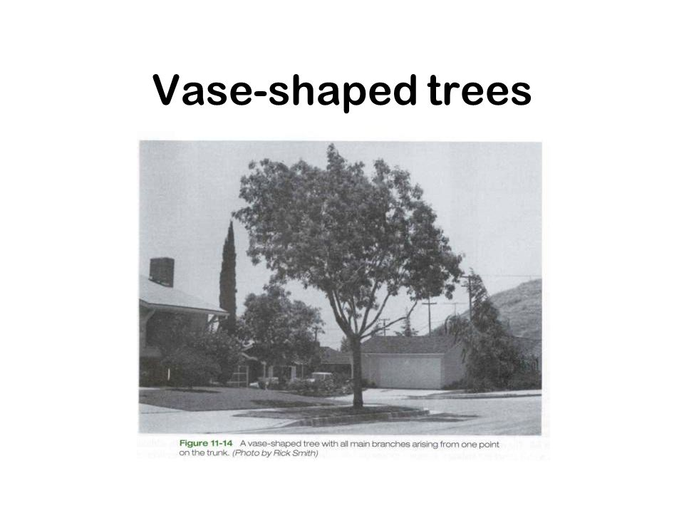 Vase-shaped trees