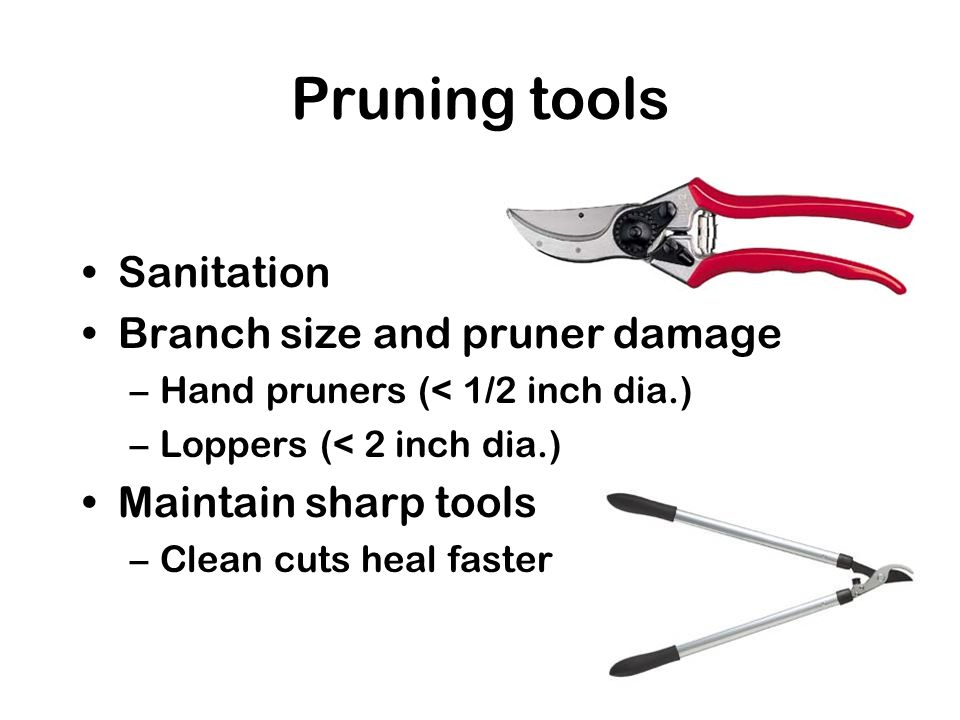 Pruning tools Sanitation Branch size and pruner damage –Hand pruners (< 1/2 inch dia.) –Loppers (< 2 inch dia.) Maintain sharp tools –Clean cuts heal faster
