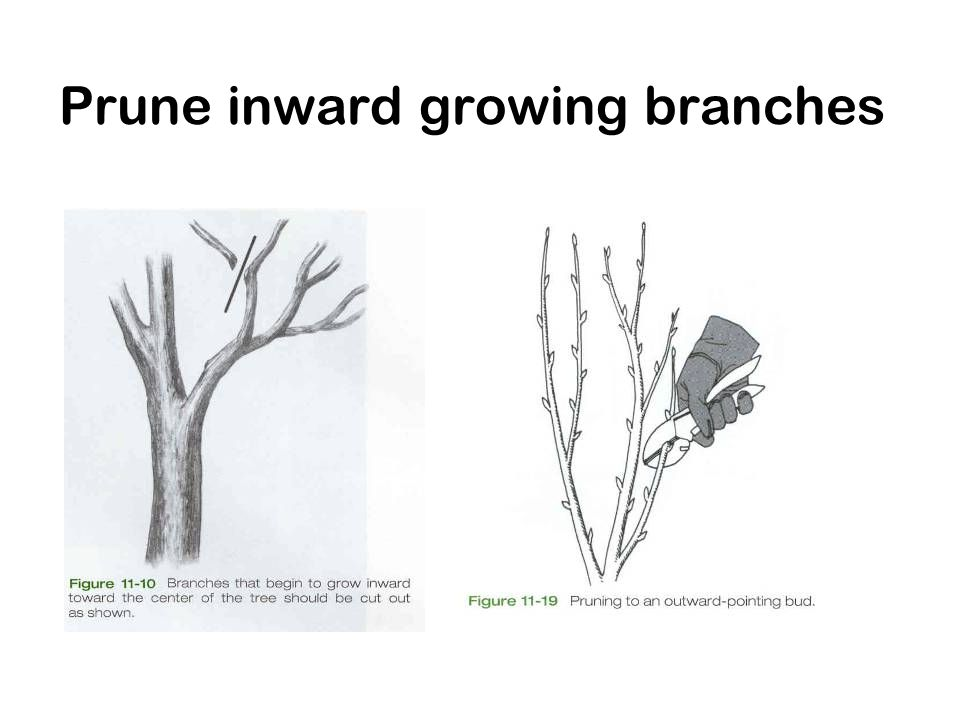 Prune inward growing branches