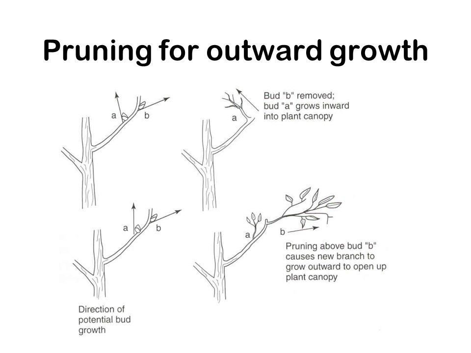Pruning for outward growth