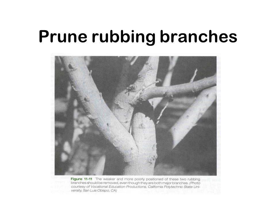 Prune rubbing branches