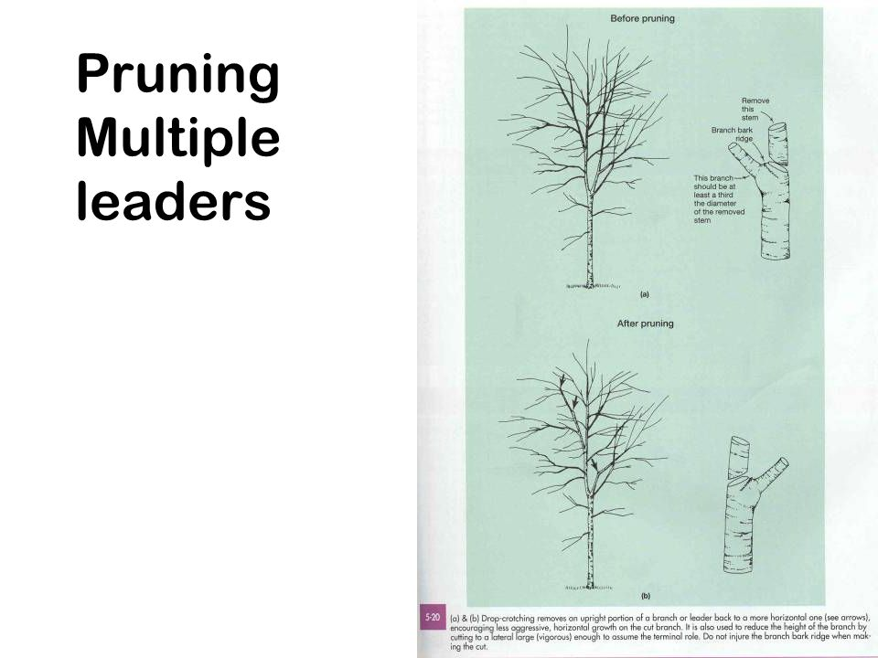 Pruning Multiple leaders